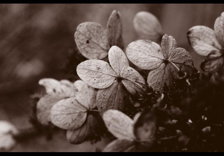 Pee Gee Hydrangea. by lustdrunk