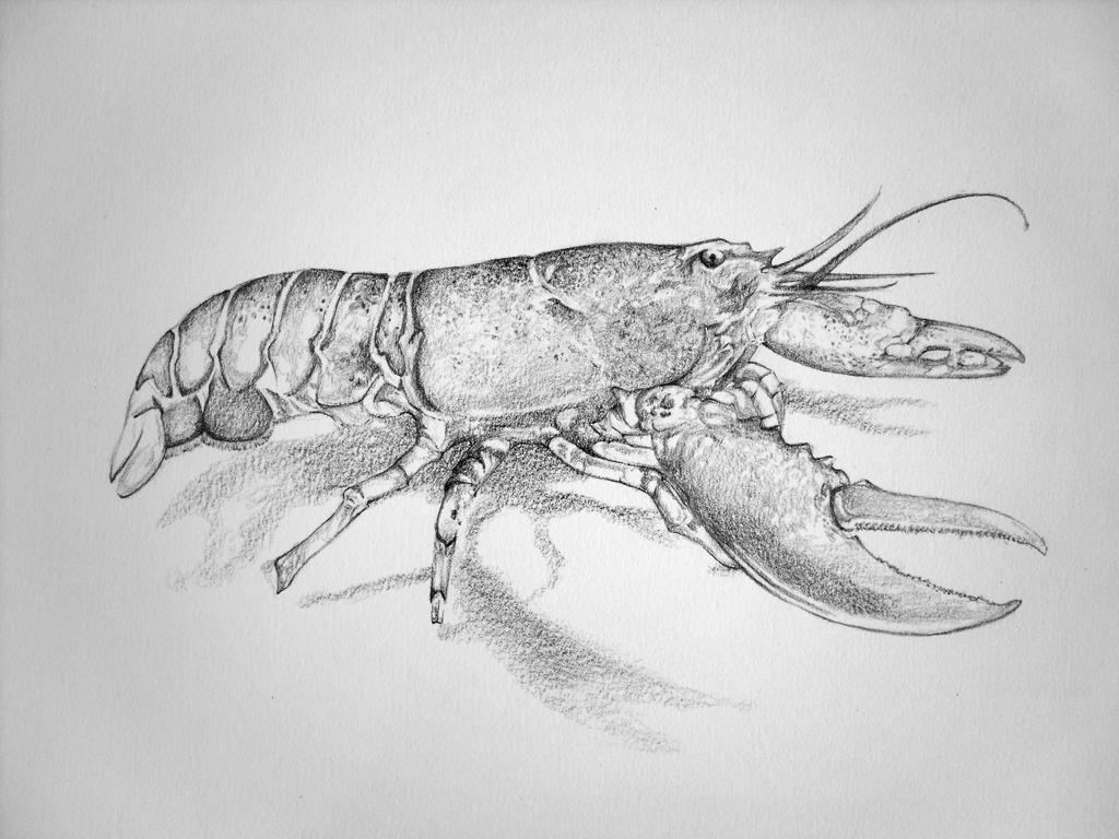 Uncategorized Lobster Drawings graphite lobster by petra fi on deviantart fi