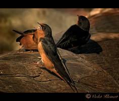 Swallows by Violet-Kleinert