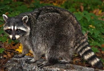Cute Raccoon by Violet-Kleinert