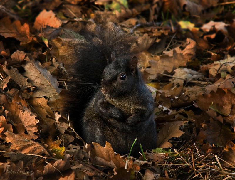 Black Squirrel 2 by Violet-Kleinert