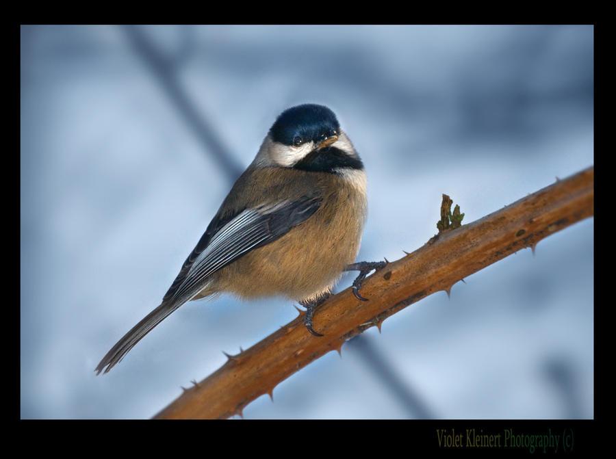 Chickadee by Violet-Kleinert
