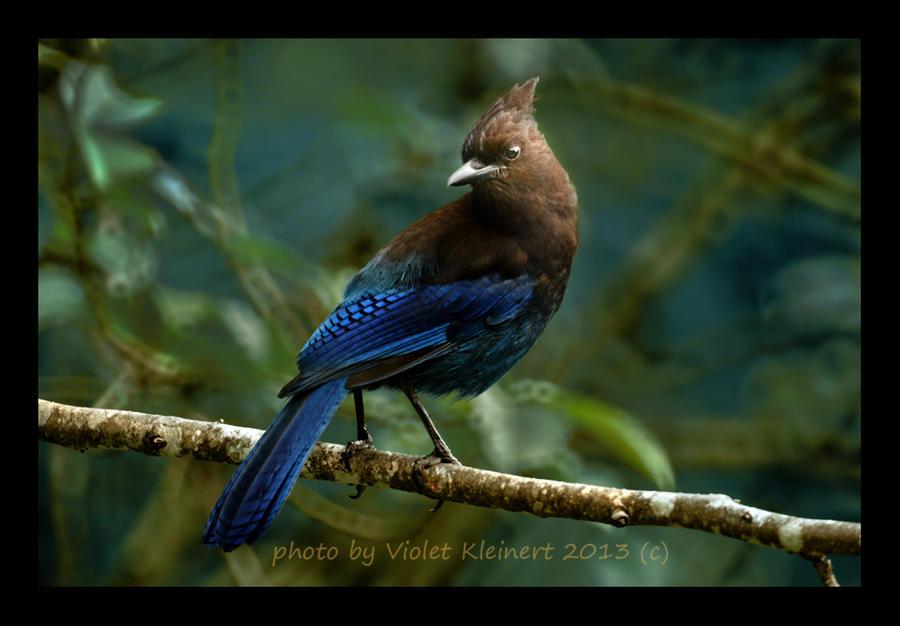 Steller's Jay II by Violet-Kleinert