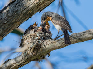 Leaden Flycatcher (F) and Chicks