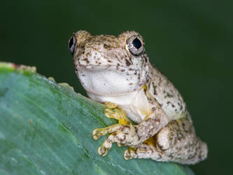 Emerald-spotted Tree Frog by strictfunctor