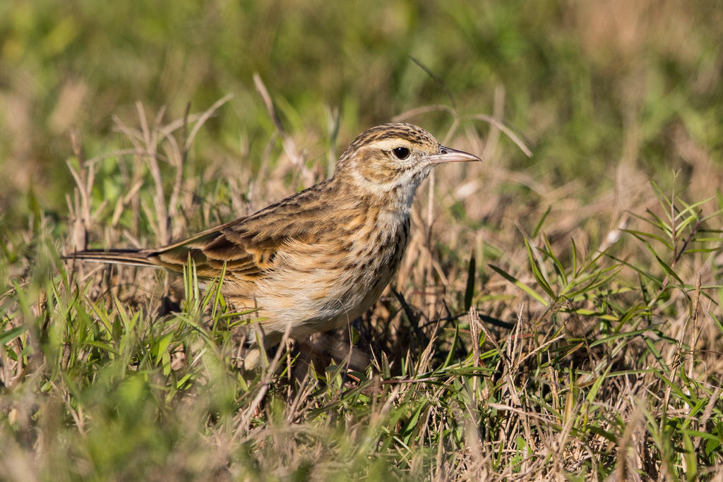 Pipit by strictfunctor
