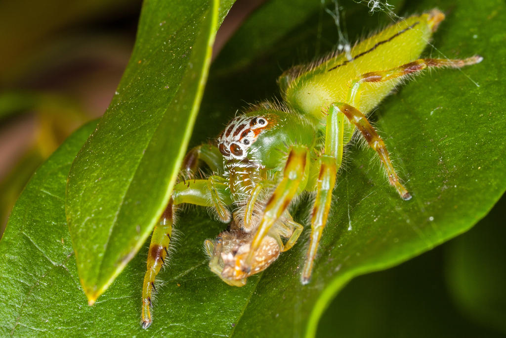 Green Jumping Spider (F) by strictfunctor