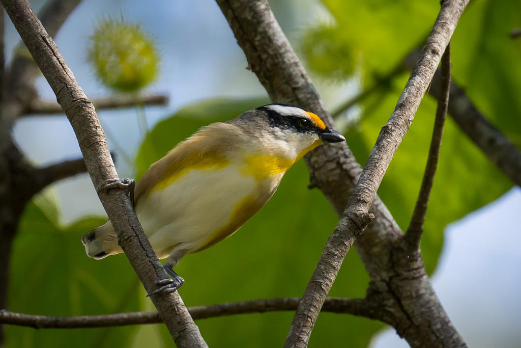 Striated Pardalote by strictfunctor
