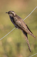 Pallid Cuckoo (F) by strictfunctor