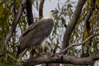 White-bellied Sea Eagle by strictfunctor