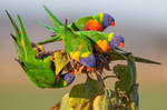 Rainbow Lorikeets Not Eating Seeds by strictfunctor