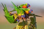 Rainbow Lorikeets Not Eating Seeds