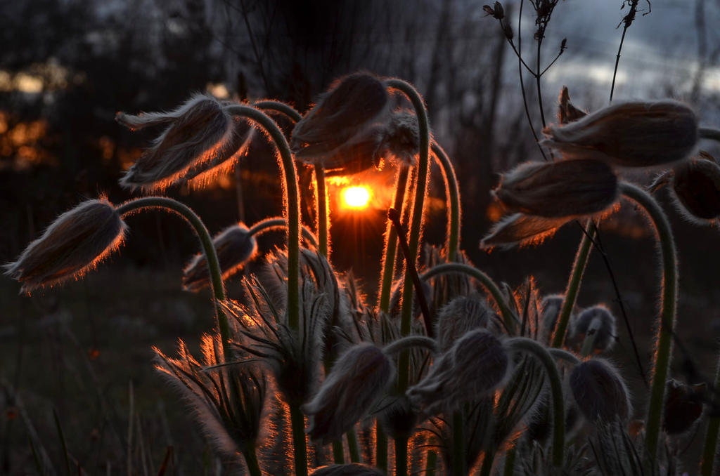 Pasqueflower dusk by BuhBedna