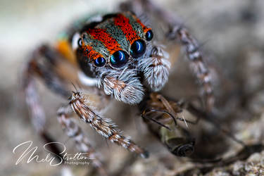 Peacock Spider - Maratus Volans by melstratton