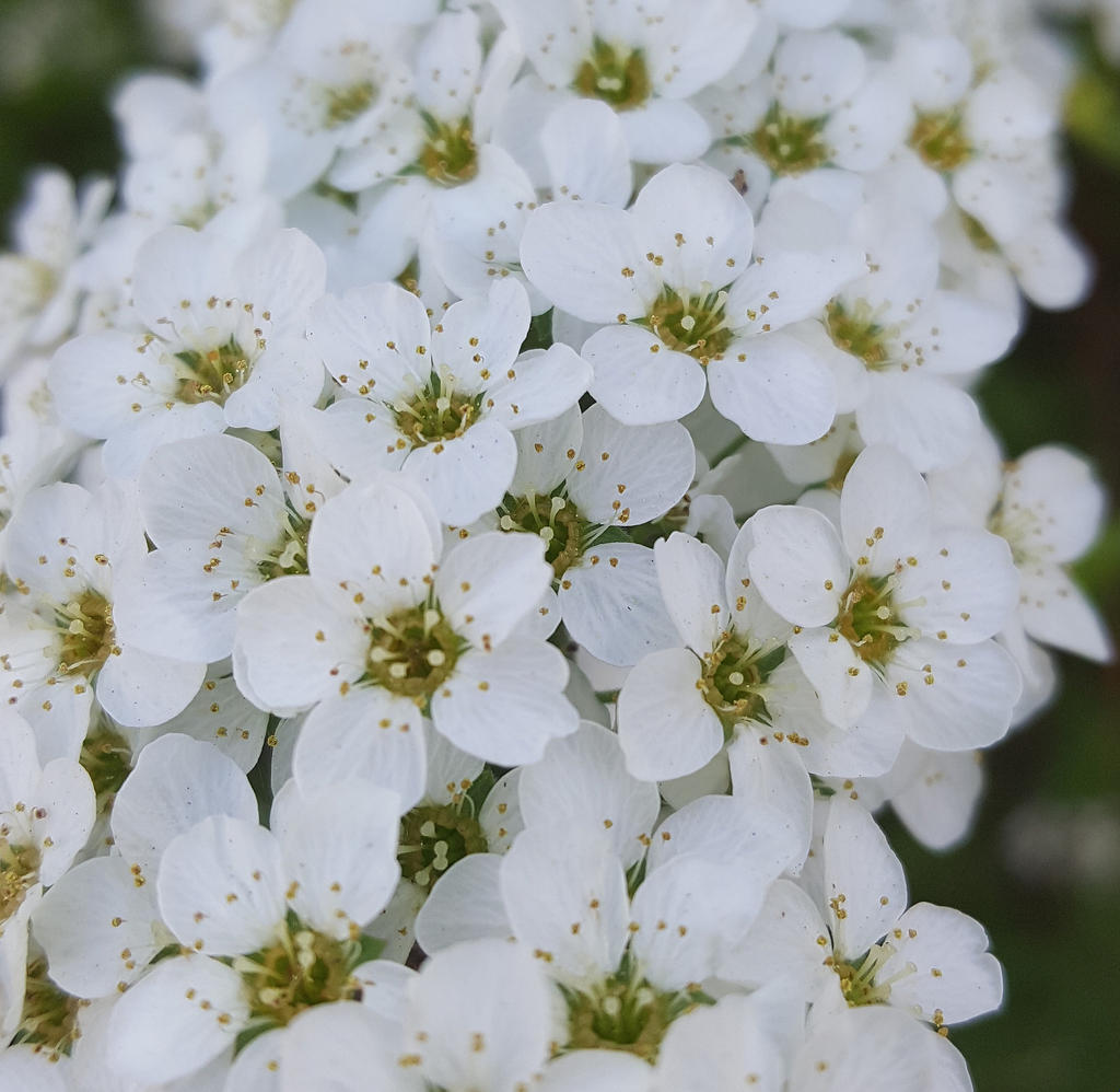 White small flowers by televicat on deviantart white small flowers by televicat white small flowers by televicat izmirmasajfo