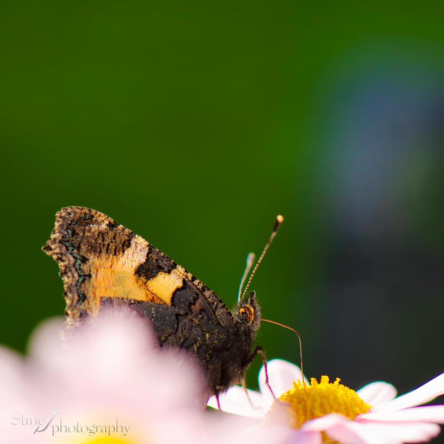 Butterfly by StineJ