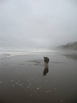 Wolf Dog on Beach