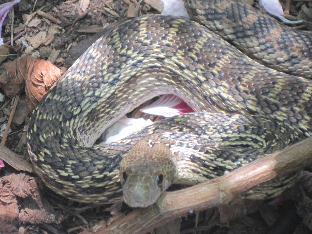 Gopher Snake by ArtOfNebula