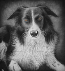 Collie White Charcoal Portrait by ashleymenard122