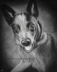 Blue Heeler White Charcoal Portrait