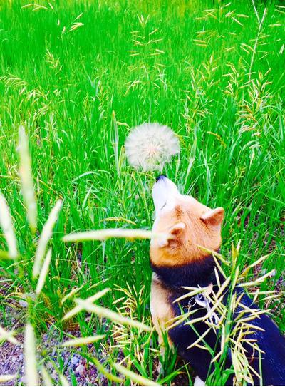 Doge Vs Flower by FireNationPhoenix