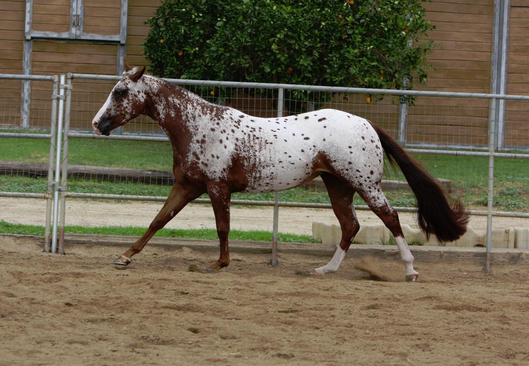Leopard Appaloosa by FineEquine on DeviantArt