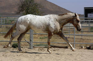 Leopard Appaloosa 2 by FineEquine