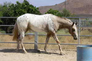 Leopard Appaloosa 3 by FineEquine