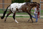 Bay Blanketed Appaloosa by FineEquine