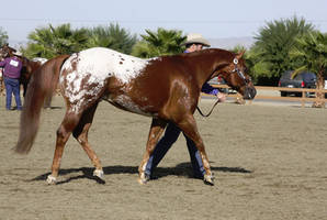 chestnut blanket Appaloosa by FineEquine