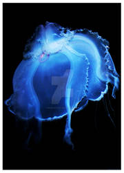 Jelly Fish II