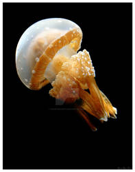 Spotted Jelly Fish