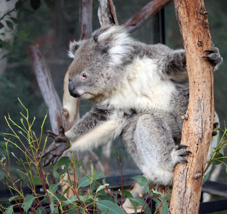 Koala 04 by aussiegal7