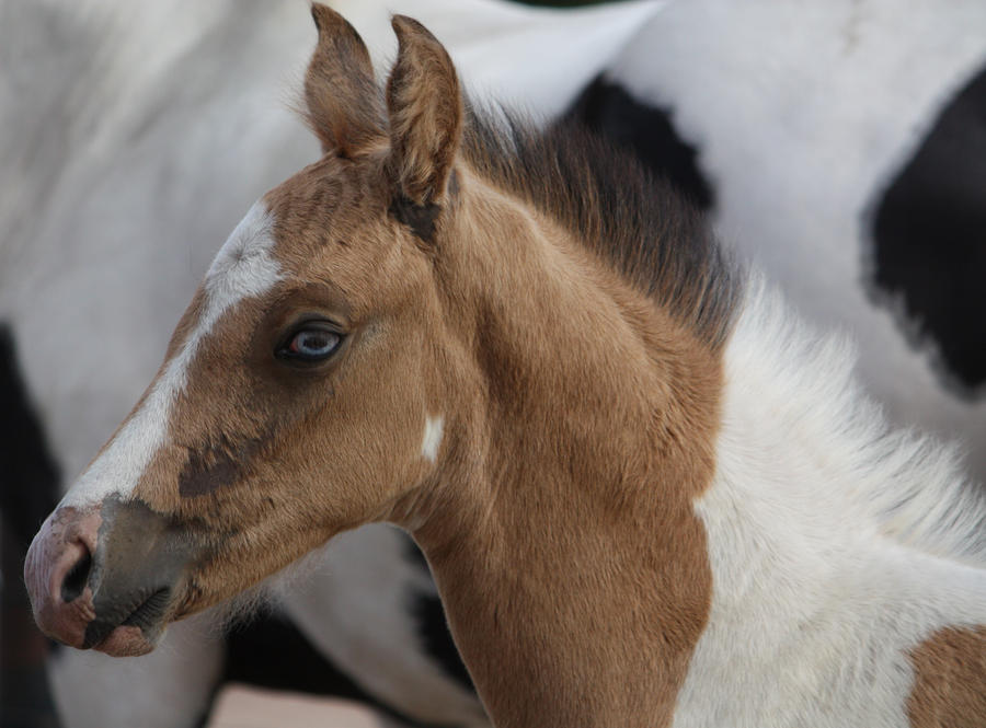 Capitain Spark a besoin d'un relooking. Foal_023_by_aussiegal7