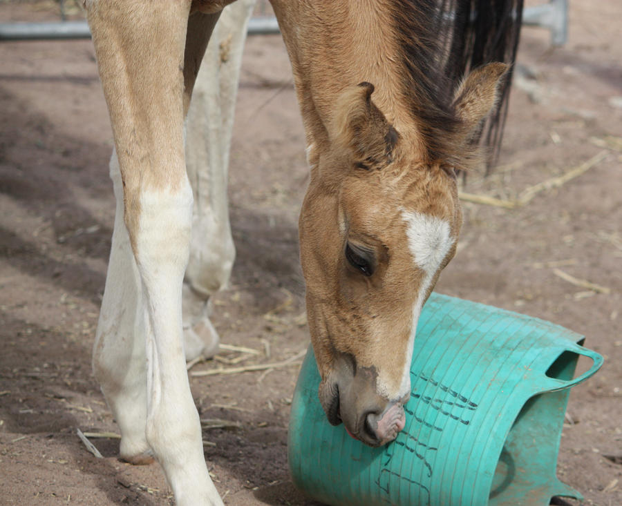 Capitain Spark a besoin d'un relooking. Foal_027_by_aussiegal7
