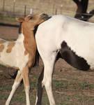 Foal 042