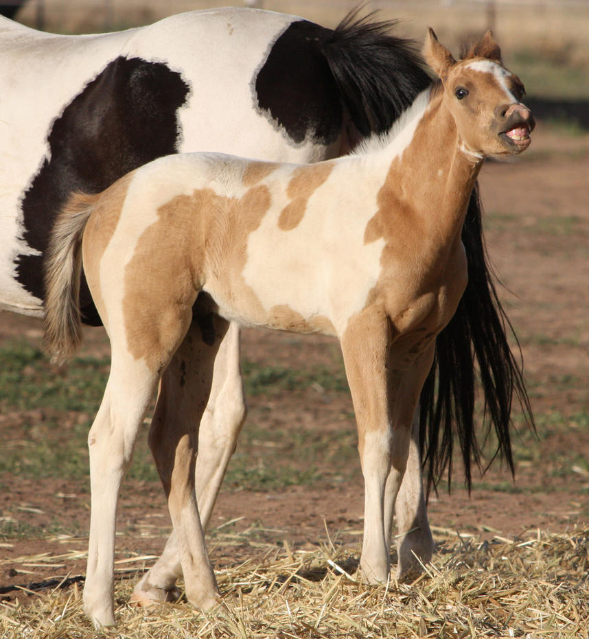 Capitain Spark a besoin d'un relooking. Foal_044_by_aussiegal7