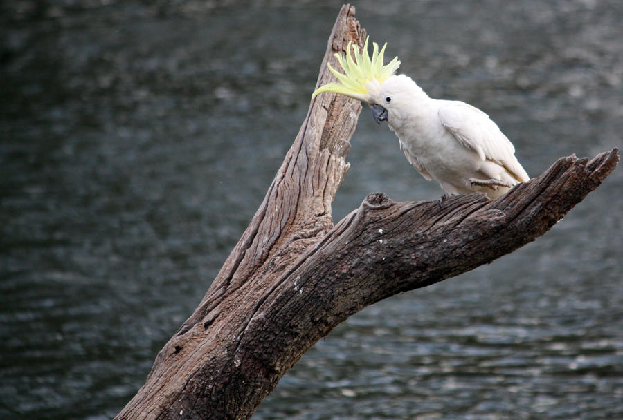 Sulphur Crested Cockatoo 21 by aussiegal7