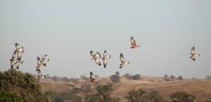 Galah Flock 01