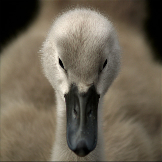 The Cygnets 1 by photonig
