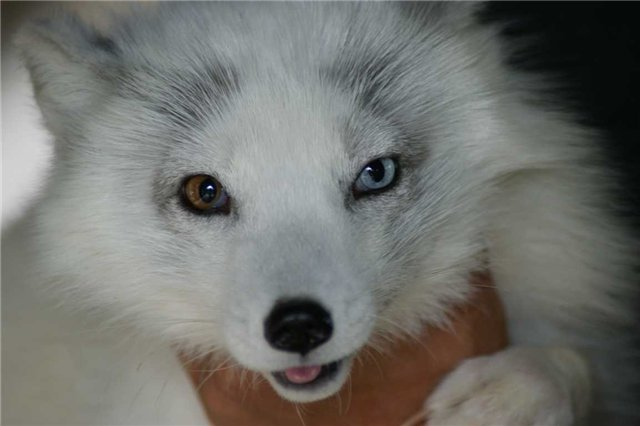 Blue fox eyes topics on exotic domestic farm and reptile animals
