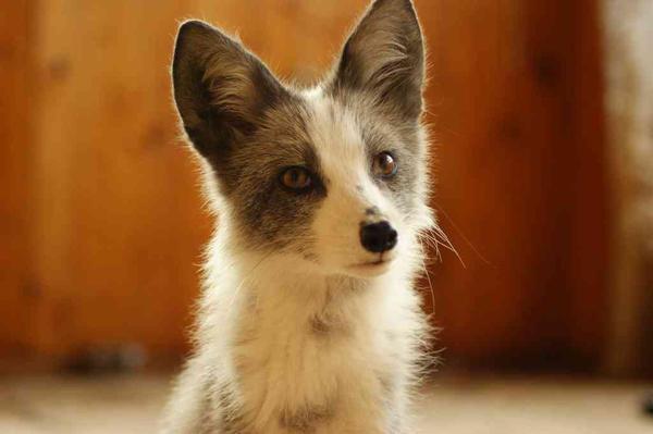 tinki by foxsvir