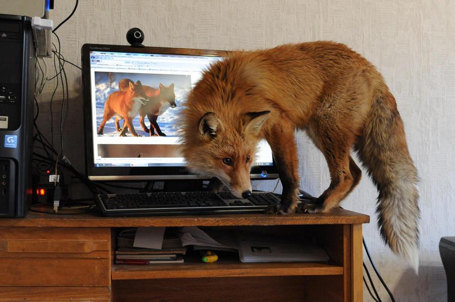 fox 42 by foxsvir