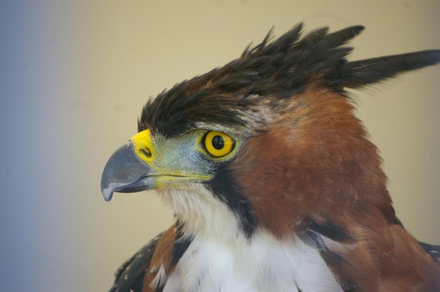 Ornate hawk eagle flying