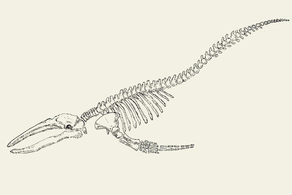Whale skeleton by Alphredito