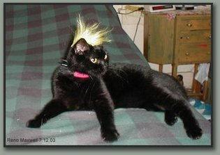 Punk Kitty