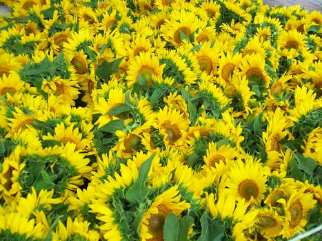 Sunflowers of Joy