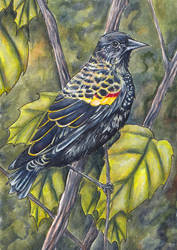 Red wing blackbird by glait