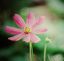 pink. by muhaaaa