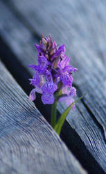 Dactylorhiza Incarnata by GloomShroom